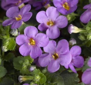 Bacopa Calypso Jumbo Deep Lavender