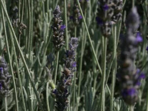 Lavender Goodwin Creek