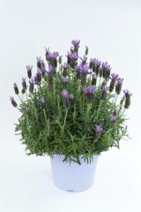 Lavender Laveanna Grand Purple