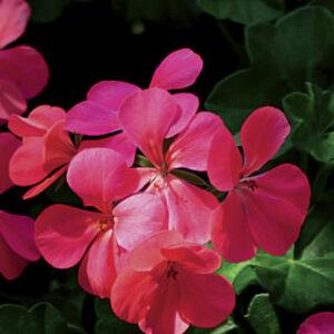 Geranium Ivy Blizzard Pink