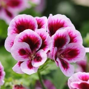 Geranium, Regal - Candy Flowers Bicolor