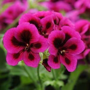 Geranium, Regal - Candy Flowers Violet