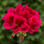Geranium - Interspecific Mojo Cranberry Splash