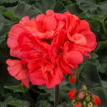 Geranium - Interspecific Mojo Salmon