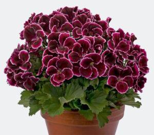 Geranium - Regal Aristo Black Beauty