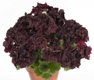 Geranium - Regal Aristo Black Velvet