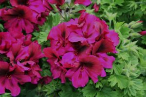 Geranium Regal Aristo Burgundy