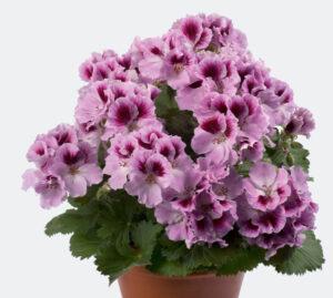 Geranium - Regal Aristo Orchid