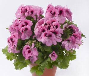 Geranium - Regal Aristo Pink