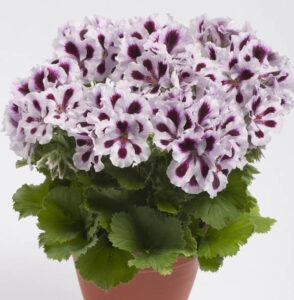 Geranium - Aristo Purple Stripes