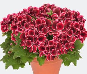 Geranium - Regal Aristo Red Beauty