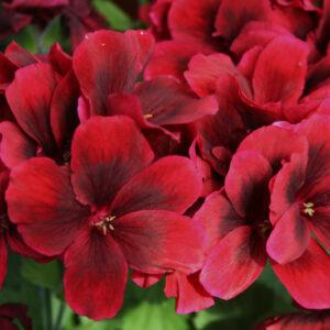 Geranium - Regal Aristo Velvet Red