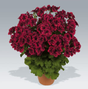 Geranium Regal Candy Flowers Bright Red