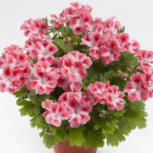 Geranium - Regal Candy Flowers Peach Cloud