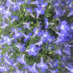 Lobelia Hot Giant Blue