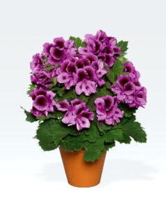 Geranium Regal Aristo Lilac