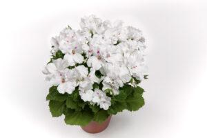 Geranium Regal Aristo White