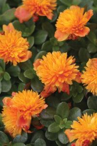 Portulaca ColorBlast Double Orange