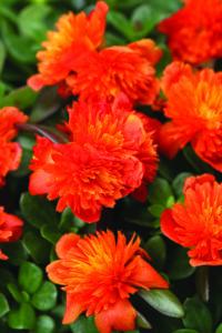 Portulaca ColorBlast Double Scarlet