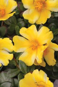 Portulaca ColorBlast Lemon Twist