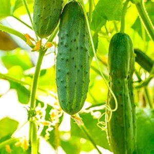 Cucumber Salad Bush