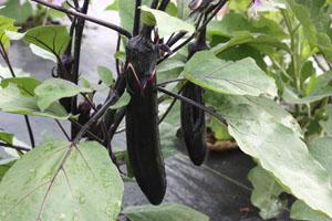 Eggplant Millionaire