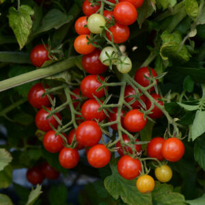 """Tomato Candyland Red (1/2"""")"""