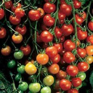 "Tomato Super Sweet 100 (1"")"