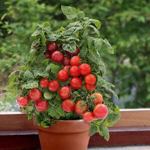 "Tomato Sweet n Neat Scarlet (1"")"