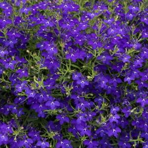 Lobelia Regatta Midnight Blue