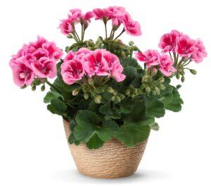 Geranium - Zonal, Flower Fairy Pink