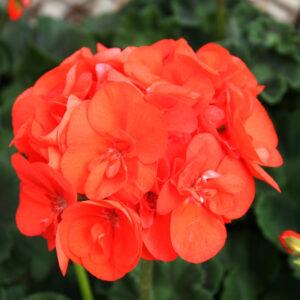 Geranium - Zonal Elanos Pastel Orange