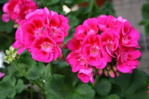 Geranium - Zonal Flower Fairy Berry
