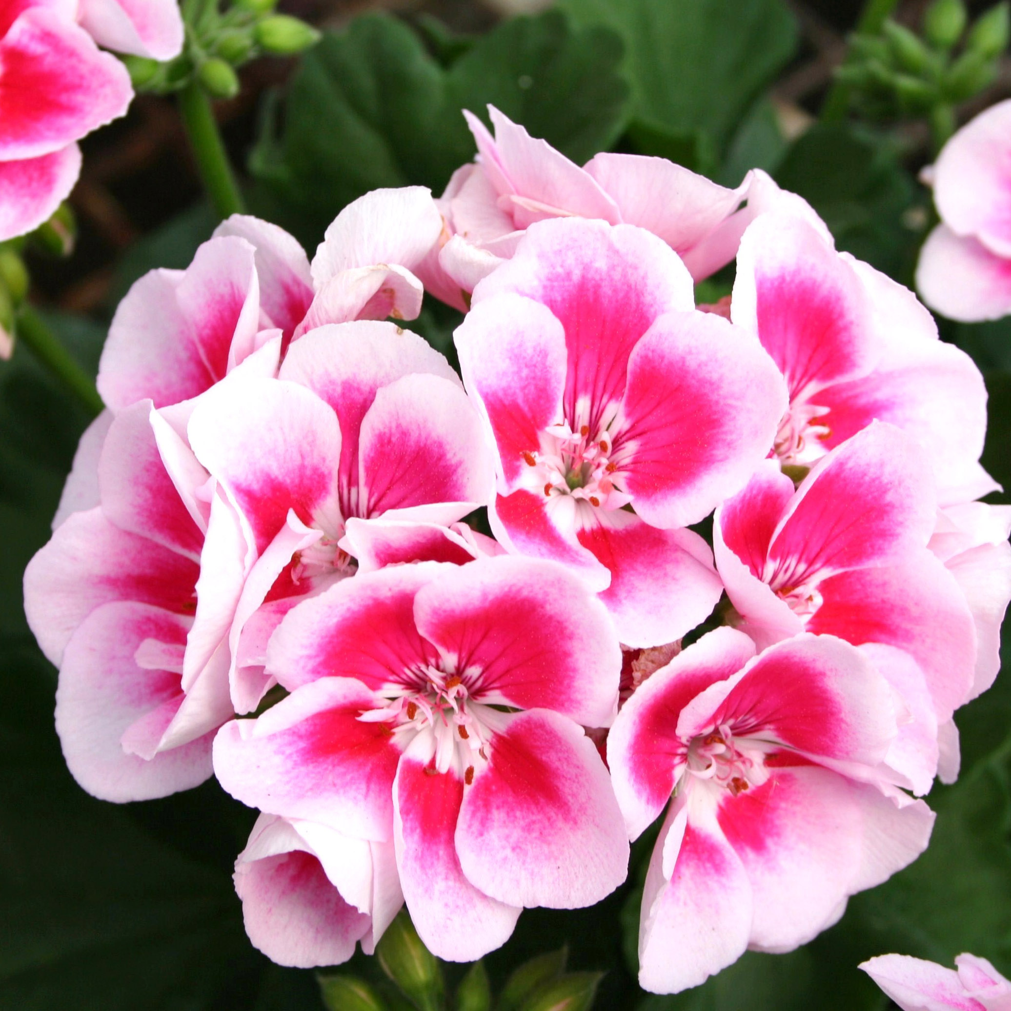 Geranium - Zonal Flower Fairy White Splash