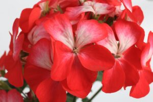 Geranium - Zonal Tango Bicolor Cherry
