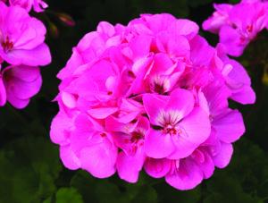 Geranium - Zonal Tango Deep Pink