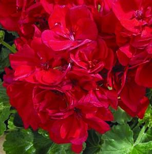 Geranium - Zonal Tango Deep Red