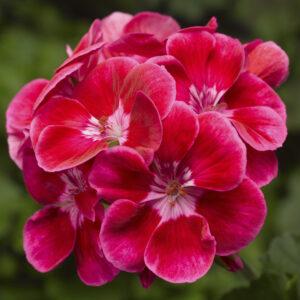 Geranium - Zonal, Tango Deep Rose with Eye