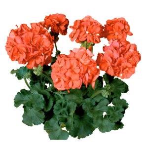 Geranium - Zonal Tango Orange