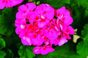 Geranium - Zonal, Tango Rose Splash
