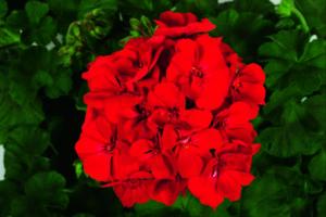 Geranium Zonal, Tango Velvet Red