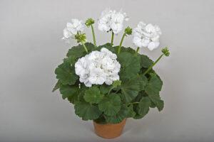 Geranium - Zonal Tango White