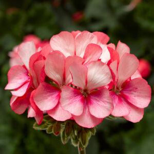 Geranium - Zonal Tango Pink Ice