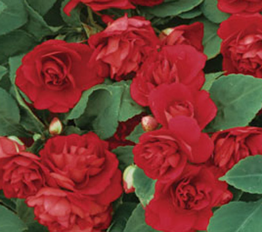 Impatiens Double Silhoutte Red
