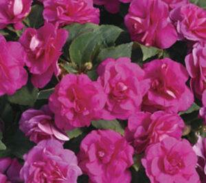 Impatiens Double Silhoutte Rose