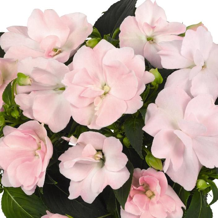 Impatiens New Guinea Wild Romance Blush Pink