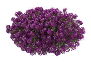 Lobularia Purple Stream