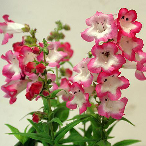 Penstemon Phoenix Pink