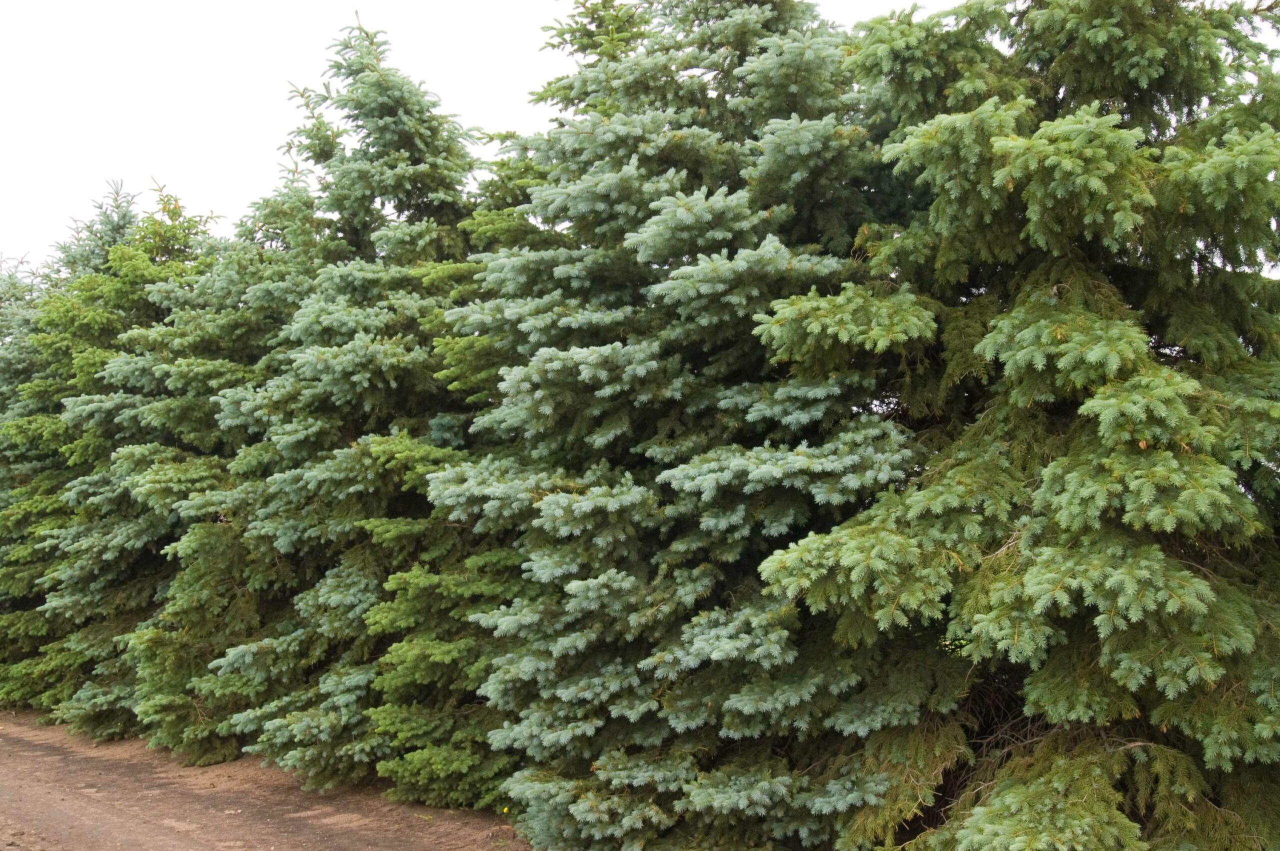 Picea Colorado Spruce