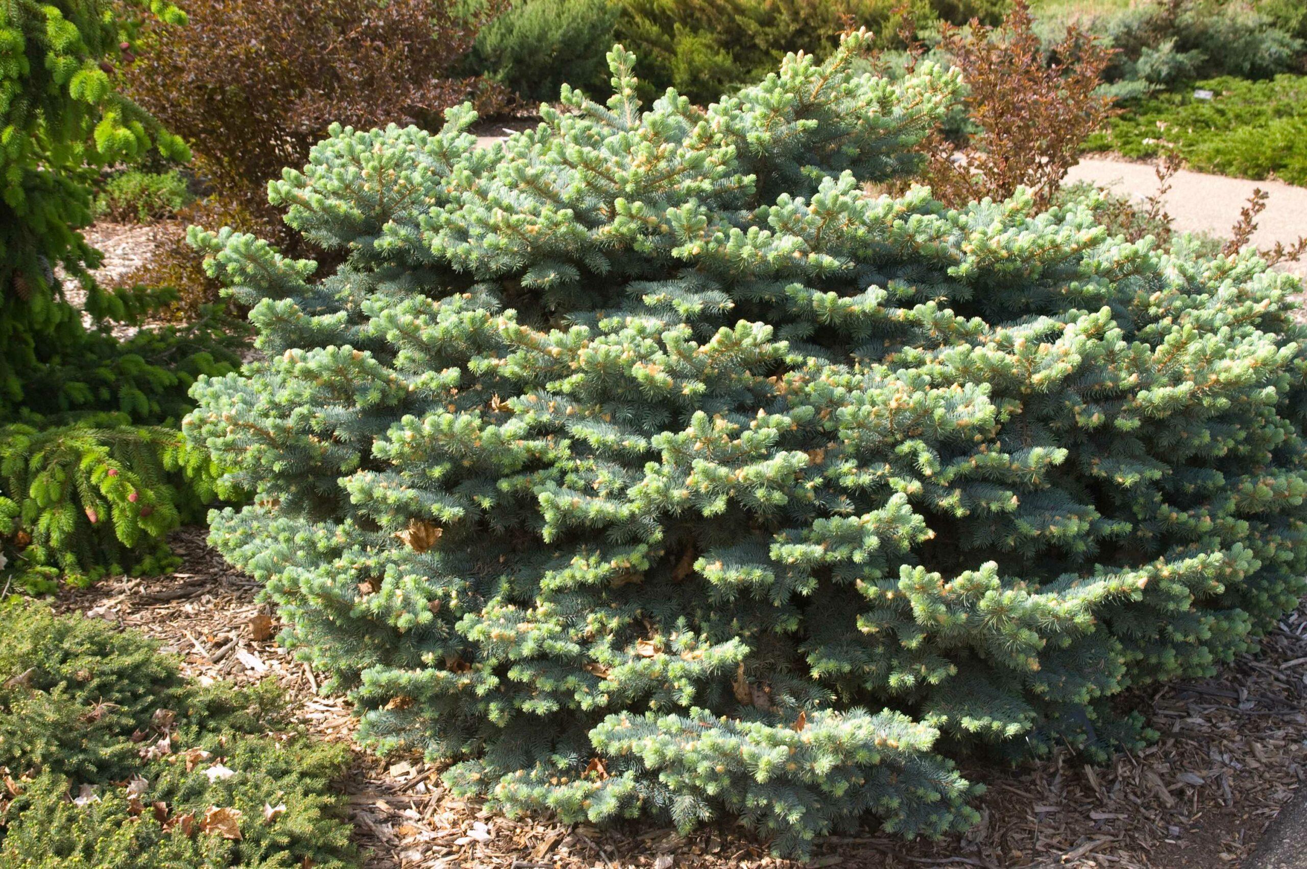 Picea Globe Blue Spruce